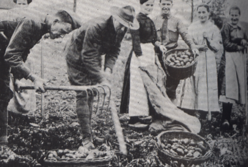 A dozen people cooking potatoes over a fire.