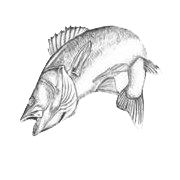 sketch of jumping fish