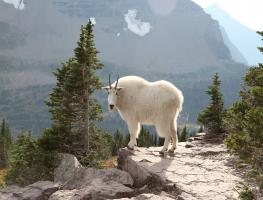 A mountain goat in the forest