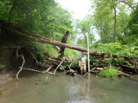 field assistant standing in a creek near a log jam