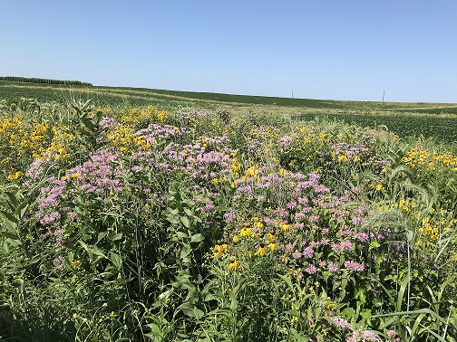 4 year old prairie strip at ISU Armstrong Memorial Research and Demonstration Farm
