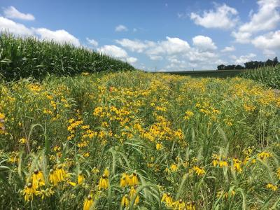 Photo of prairie strip on ISU's Armstrong Memorial Research Farm, by Farnaz Korbacheh